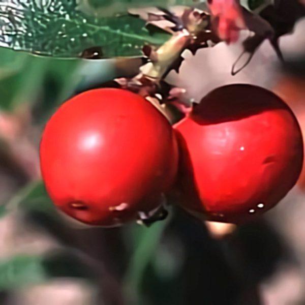 خواص گیاه انگور خرس در طب سنتی