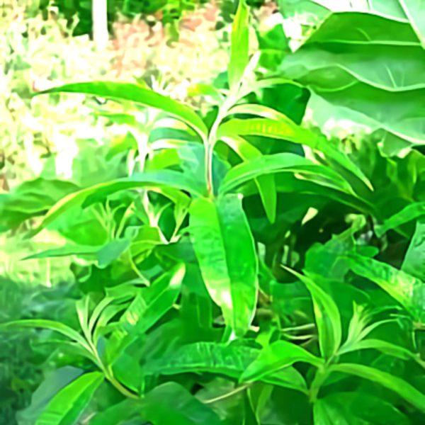 خواص گیاه به لیمو در طب سنتی