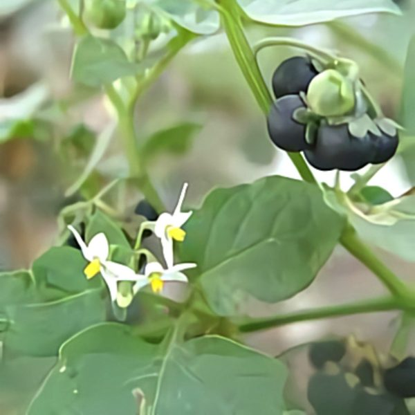 خواص گیاه تربانتین در طب سنتی