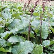 خواص گیاه ترشک در طب سنتی