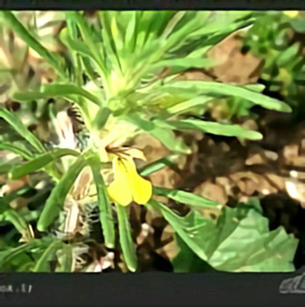 خواص گیاه جعده کاجی در طب سنتی