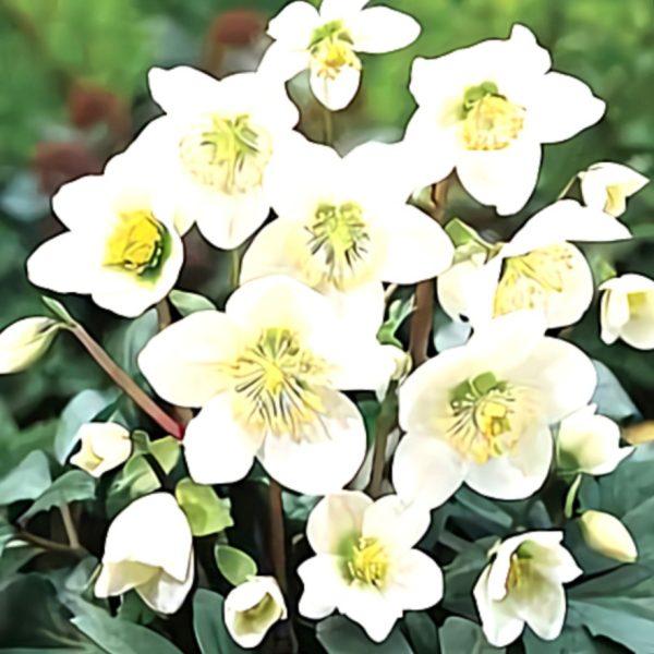 خواص گیاه خربق سفید در طب سنتی
