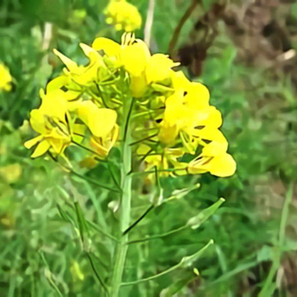 خواص گیاه خردل در طب سنتی