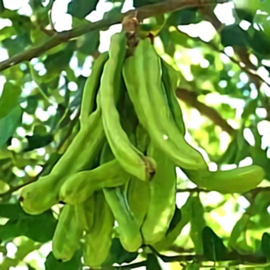 خواص گیاه خرنوب در طب سنتی