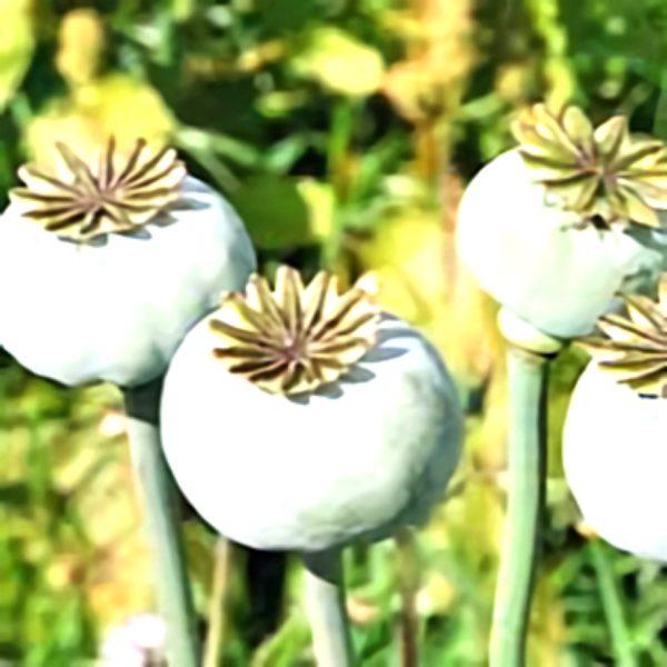 خواص گیاه خشخاش در طب سنتی