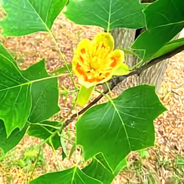 خواص گیاه درخت پنجه در طب سنتی