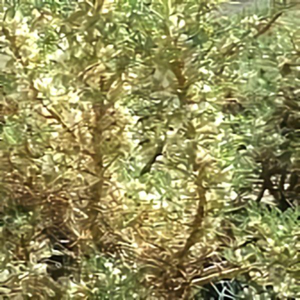 خواص گیاه درخت گزانگبین در طب سنتی