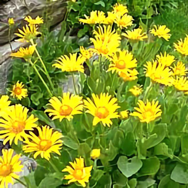 خواص گیاه درونک در طب سنتی