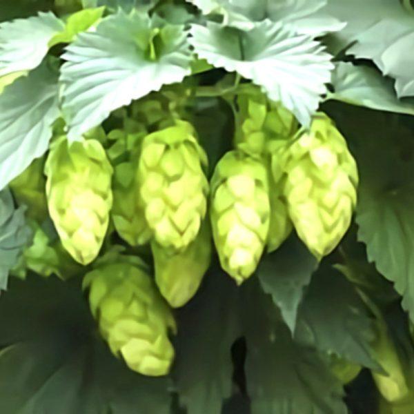 خواص گیاه رازک در طب سنتی