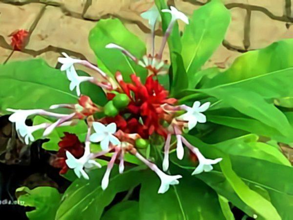 خواص گیاه راولفیا در طب سنتی
