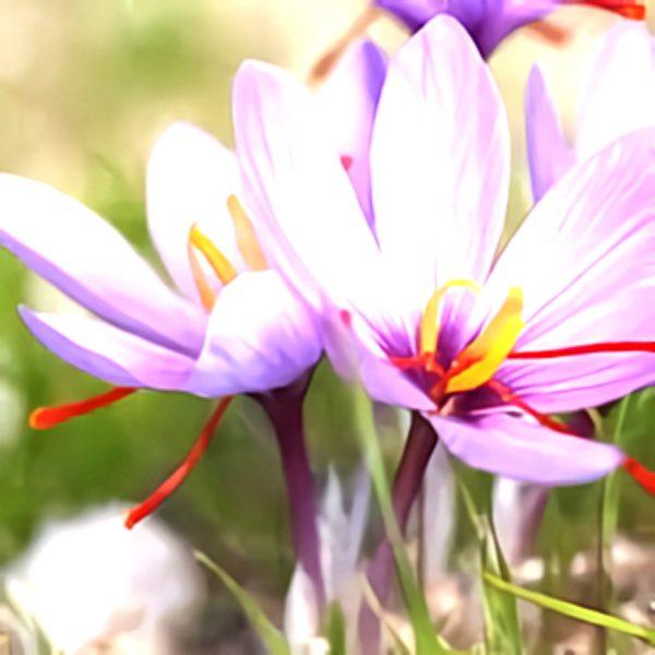 خواص گیاه زعفران در طب سنتی