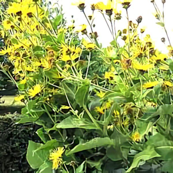 خواص گیاه زنجبیل شامی در طب سنتی