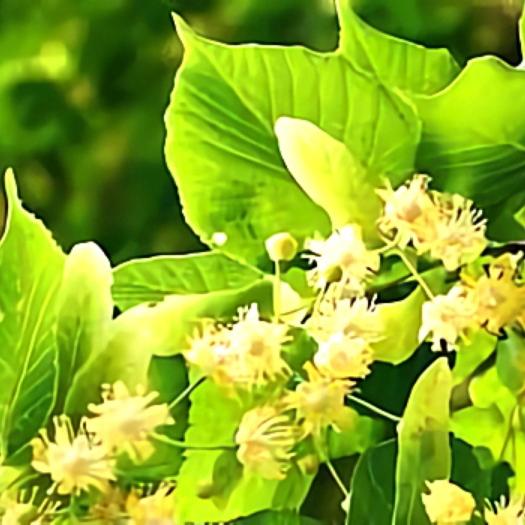 خواص گیاه زیرفون در طب سنتی