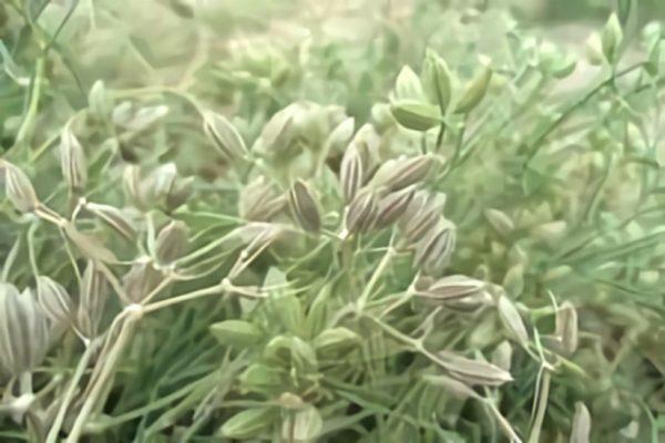خواص گیاه زیره سبز در طب سنتی