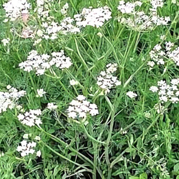 خواص گیاه زیره سیاه در طب سنتی