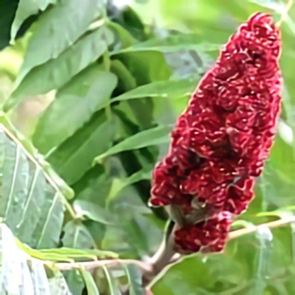 خواص گیاه سماق در طب سنتی
