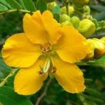 معرفی خواص گیاه سنا در طب سنتی