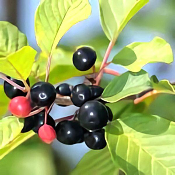 خواص گیاه سیاه توسه در طب سنتی