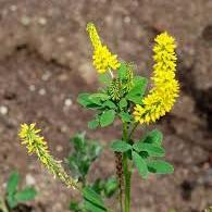 معرفی خواص گیاه شبدر زرد در طب سنتی