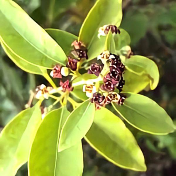 خواص گیاه صندل در طب سنتی