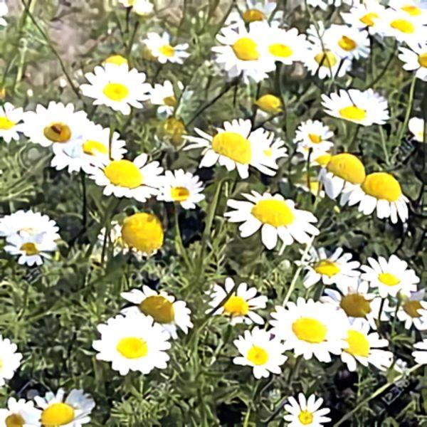 خواص گیاه عاقرقرحا در طب سنتی