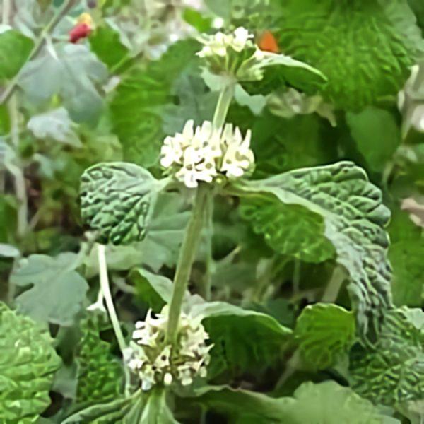 خواص گیاه فراسیون سفید در طب سنتی