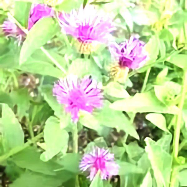 خواص گیاه قنطوریون کبیر در طب سنتی