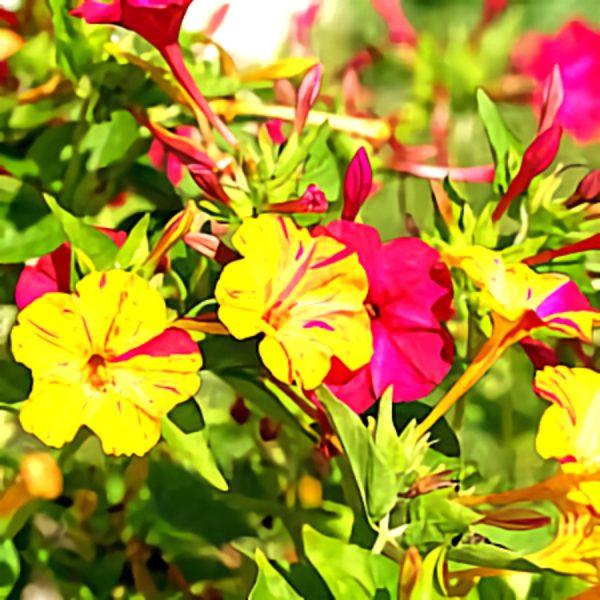 خواص گیاه لاله عباسی در طب سنتی