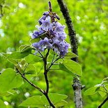 خواص گیاه پولونیا در طب سنتی