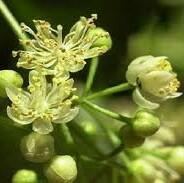 خواص گیاه پیستاوان در طب سنتی