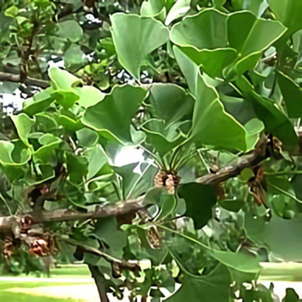 خواص گیاه ژینکو در طب سنتی