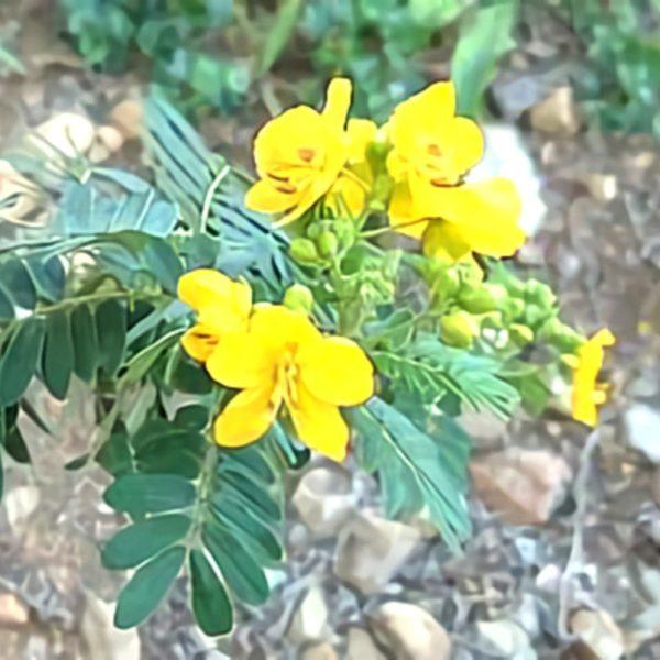 خواص گیاه کاسیا در طب سنتی