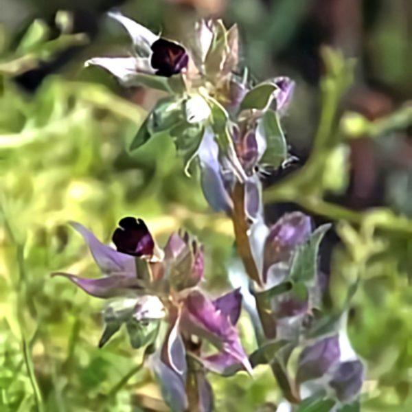 خواص گیاه کماذریون در طب سنتی
