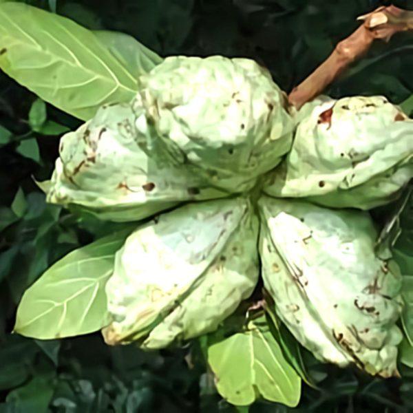 خواص گیاه کولا در طب سنتی
