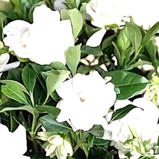 خواص گیاه گاردنیا در طب سنتی