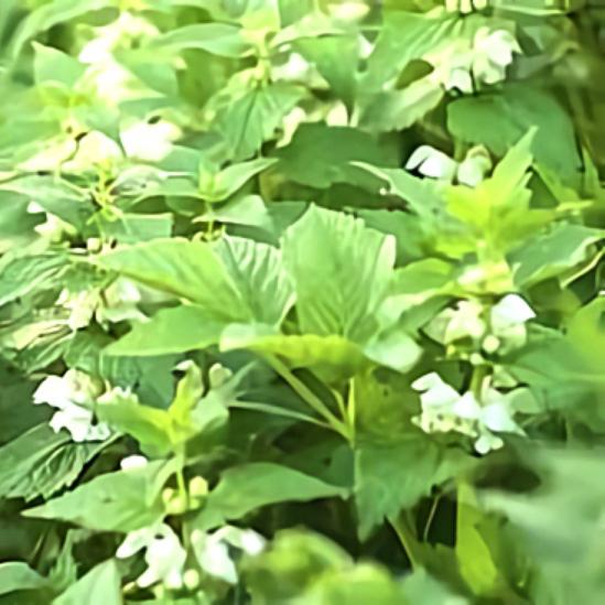 خواص گیاه گزنه سفید در طب سنتی