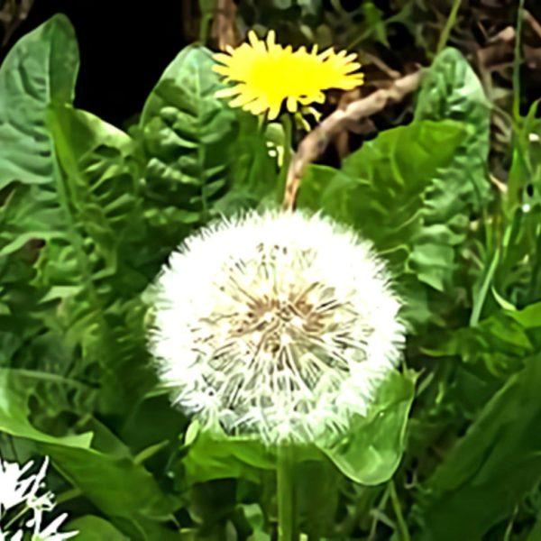خواص گیاه گل قاصدک در طب سنتی