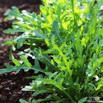 معرفی خواص گیاه منداب در طب سنتی