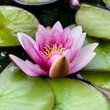 معرفی خواص گیاه نیلوفر آبی هندی در طب سنتی