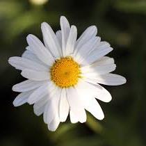 معرفی خواص گیاه گل مینا در طب سنتی